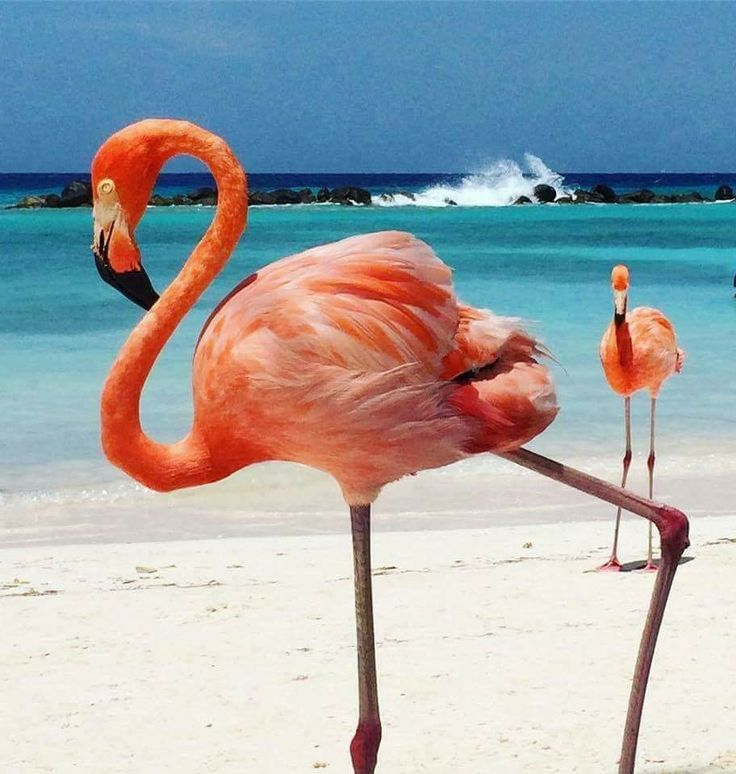 Flamingo Beach Flamingos Beach Bum Beaches Miscellaneous