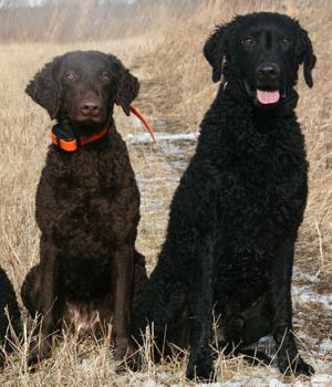 best 53 curly coated retriever images on pinterest