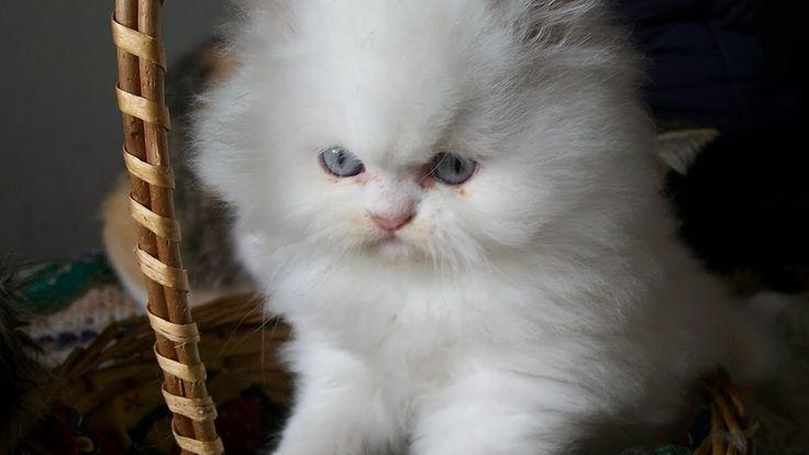 Gatitos persa Criadero. Los gatos y perros de Lourdes