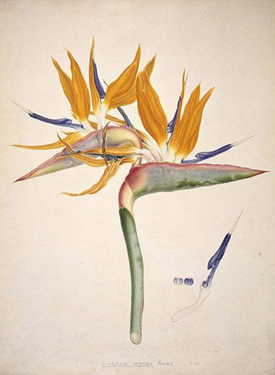 Watercolour of a bird of paradise flower (Strelitzia) by Franz Bauer, 1818