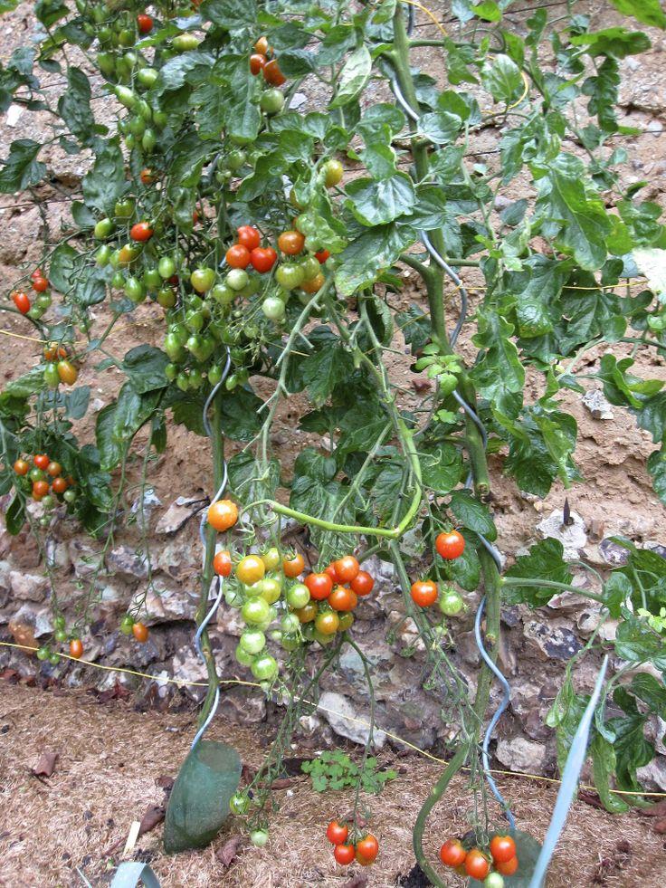Les tomates cerises Pépé F1 (précoces) commencent à rougir !