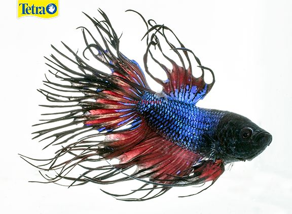 17 best images about freshwater fish on pinterest for Easy to care for fish