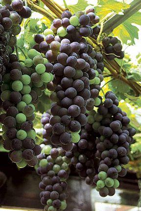 Growing Grapes | F-ruits.com