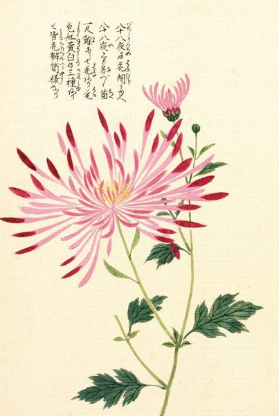 Spider Chrysanth by Kanen Iwasaki -- © Honzo Zufu [Illustrated manual of medicinal plants] by Kan'en Iwasaki (1786-1842). Wood block print and manuscript on paper. Japan, 1828 © The Trustees of the Royal Botanic Gardens, Kew
