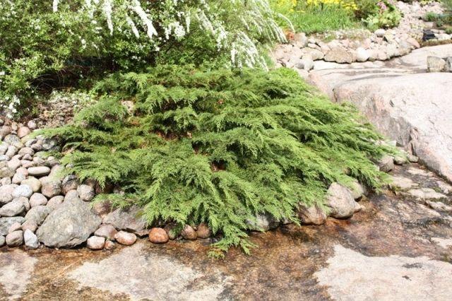 Микробиота перекрестнопарая - декоративный вечнозеленый хвойный кустарник - Садоводка