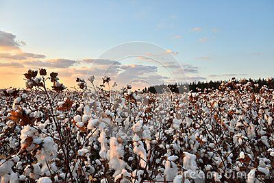 View of cotton field at sunset.