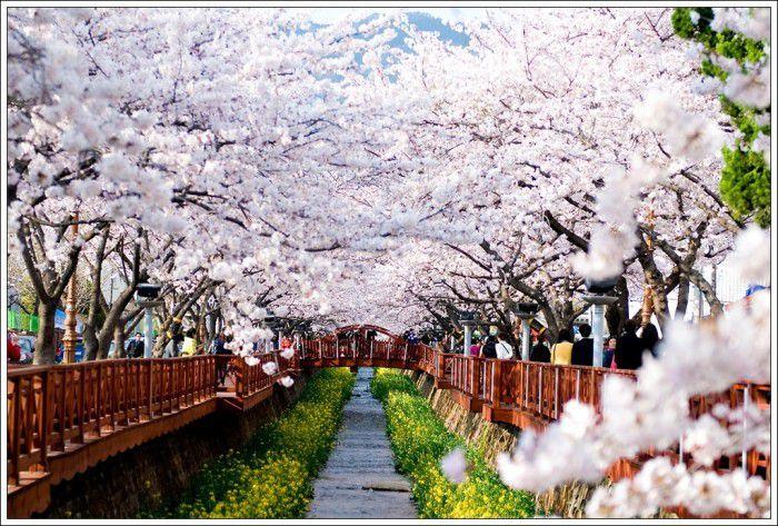 Abril tem festivais para apreciar flores de cerejeira na Coreia