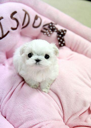 Adorable teacup maltese puppy