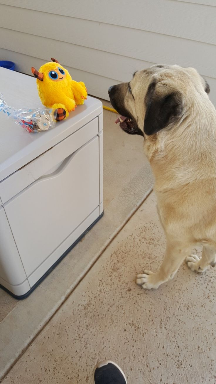 Pin by Dianne on anatolian Shepherd Group of dogs