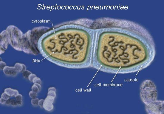 Estructuras del Streptococcus pneumoniae