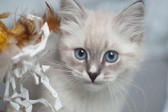 kitten neva, blue tabby with white