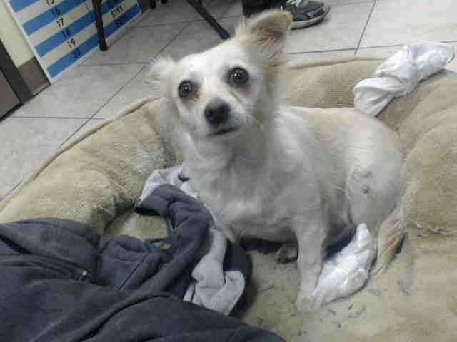 Id A500732 Gumdrop Desperately Needs Donations And To Get To The Vet Asap She Was Brought In As A Stray And It Appears That Dog Adoption Chihuahua Dogs Dogs