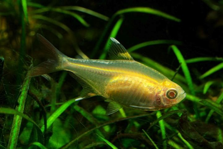 Pristella Maxillaris X Ray Tetra Species Aquatic Plants Fish Pet