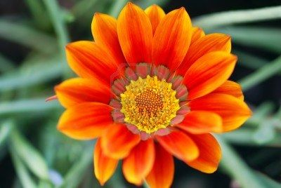 Colorful South African gazania flower