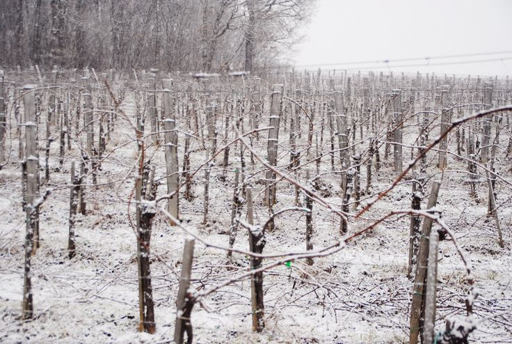 winter, vineyard