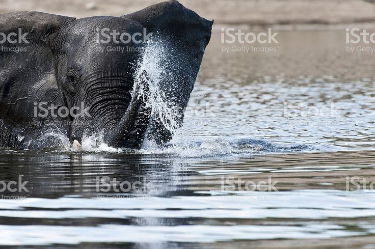 Elephant throwing water inside a lake or river royalty-free stock photo