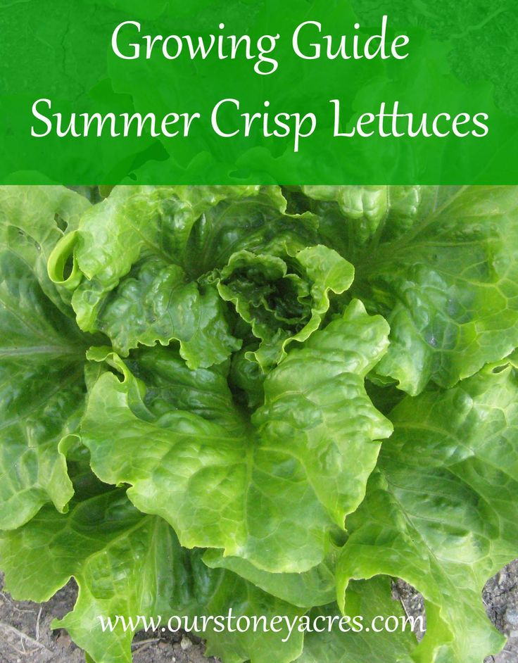Summer Crisp Lettuces are a great option to get you fresh lettuce in the heat of the summer. Plant these varieties starting in May for a harvest all summer