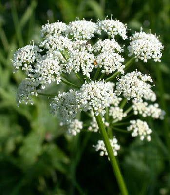 DI TIBI DENT: Dna podagra nemoc králů a bylinky. Dna úzce souvis...