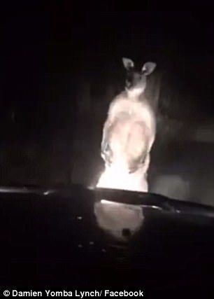 This article contains the video of the man smacking an aggressive male kangaroo in the face to save his dogs.