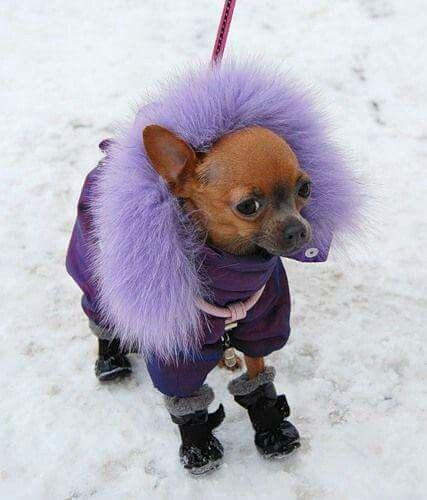 Chihuahua My Dog Name Is Precious