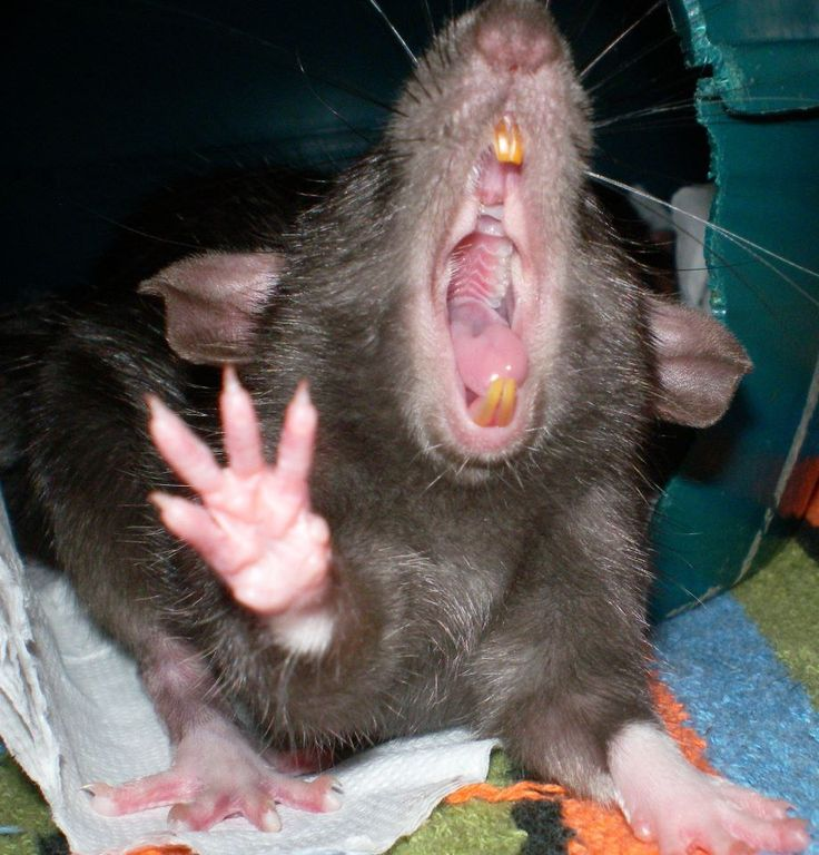 14 Best images about crazy rats on Pinterest | Popular ...