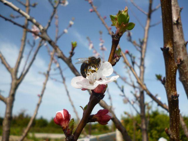 Η βερικοκιά αποτελεί σπουδαίο μελισσοκομικό φυτό γιατί προσφέρει γύρη και νέκταρ.