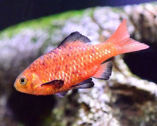 Cold water fish species for your fresh water aquarium for Cold freshwater fish