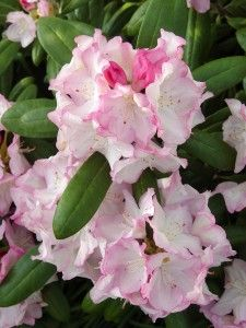 rhododendron ken janeck - Ideal for shade and part-shade spots, i.e. along eastern or northern foundations or in dappled light around trees. 3 feet tall with a 4- to 5-foot spread