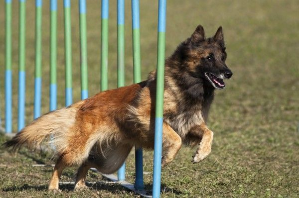 Get to Know the Belgian Tervuren: Mahogany Majesty - This elegant herding dog is tougher than she looks. | Dogster