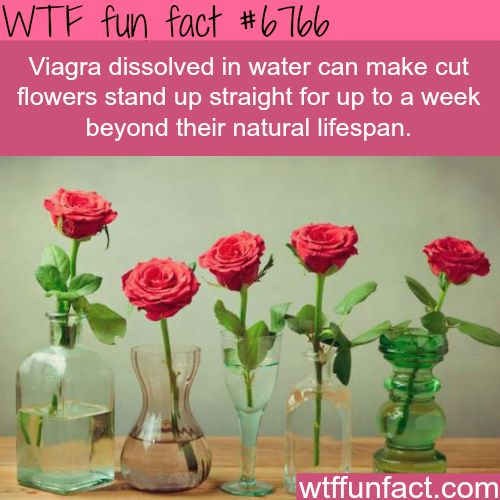 Viagra in water can make flower stand up longer than it's lifespan - WTF fun fact