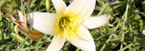 Taglilie 'White Jade'