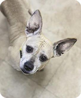 Chicago, IL - French Bulldog/Dachshund Mix. Meet Bailey 6, a dog for adoption. http://www.adoptapet.com/pet/16941529-chicago-illinois-french-bulldog-mix