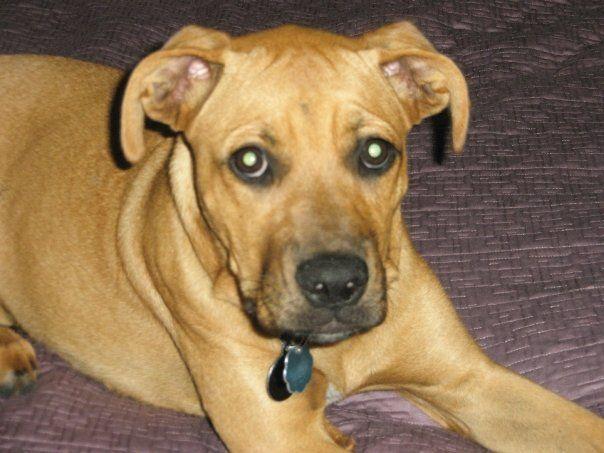 Boxer And Labrador Retriever Mix Venice And Tuckerton Pinterest