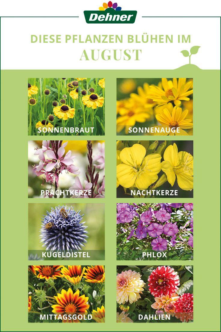 Diese Pflanzen Bluhen Im August Sommerblumen August Blumen Pflanzen