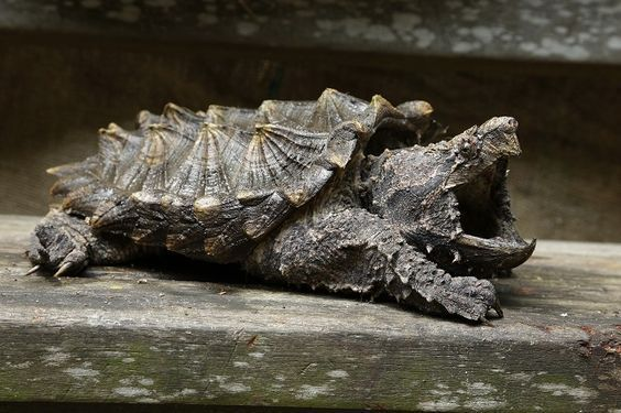 2- Alligator snapping turtle image source The alligator snapping turtle (Macrochelys temminckii) is one of the heaviest freshwater turtles in the world. It is often associated with, but not closely related to, the common snapping turtle,...