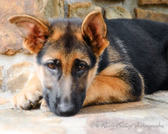 German Shepherd Puppy  Rescued  8x10  Fine Art by RuthBailey, $20.00
