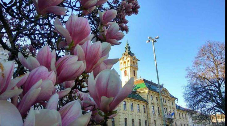 Magnólia, Széchenyi tér, Szeged