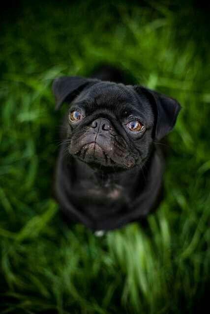 I love black pugs Dog Puppy Puppies