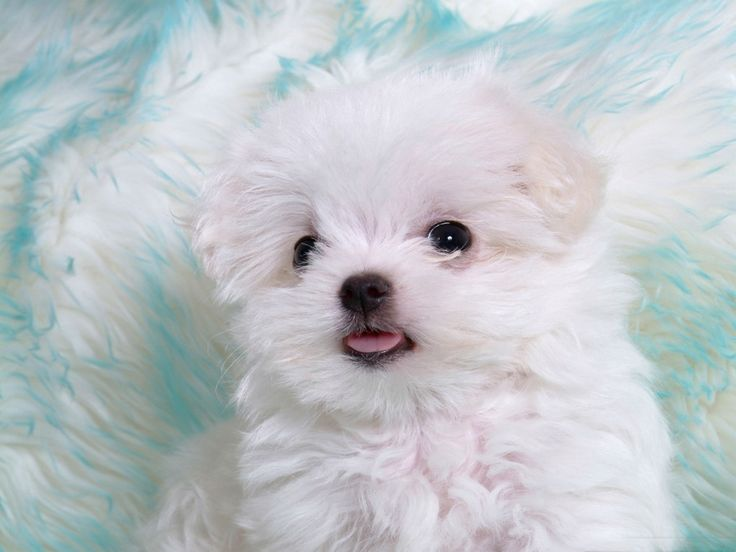 "I really want theseGorgeous Maltese puppy"" data-componentType=""MODAL_PIN"