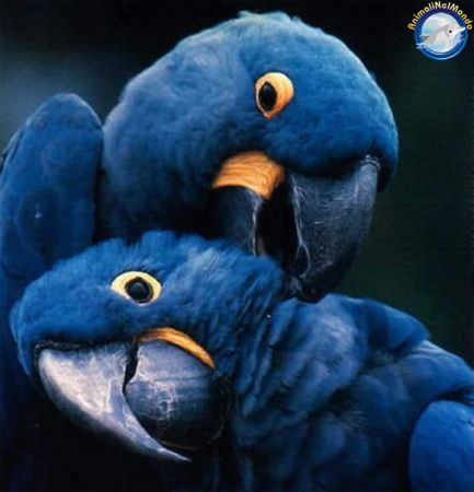 Hyacinth Macaw. Endangered species list...just as so many large parrots are!