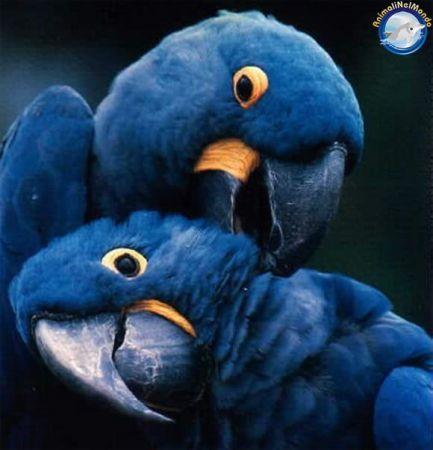 pappagallini... blu