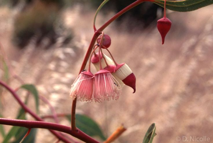 Eucalyptus synandra (Jingymia mallee) flower buds and flowers. A rare species native to southern Western Australia, notable for the flowers which are initially cream-coloured when fresh and age to pink.