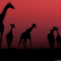 Giraffe Sunset by Andrew Schoeman
