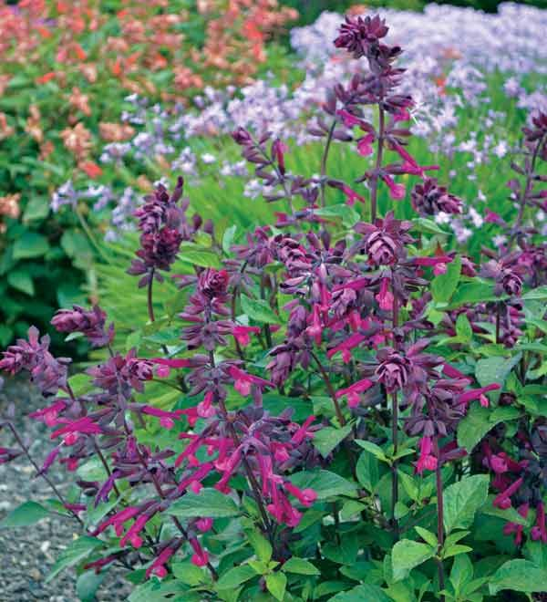 love and wishes salvia buy salviapurple plantspurple flowerssingle - Common Purple Garden Flowers