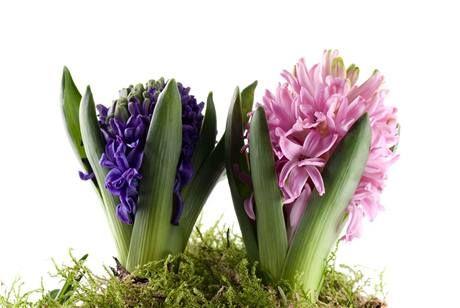 Stačí dva květy hyacintu a hned je veseleji.