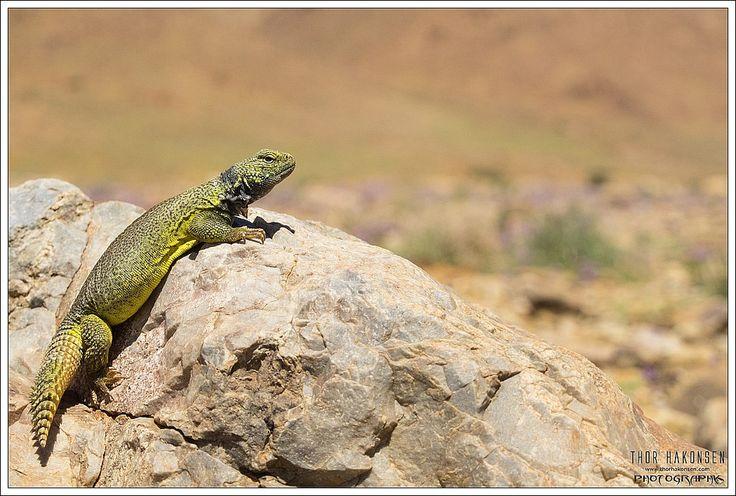21 besten Rocky\'s Reptiles Bilder auf Pinterest | Reptilien, Geckos ...