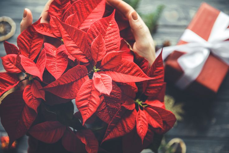 P. Allen Smith's Guide to Caring for Poinsettias
