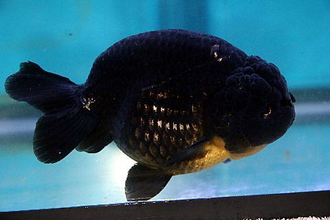 Goldfish Pictures and Gallery - Ranchu , Lionchu, and Lionhead Goldfish/black ranchu goldfish