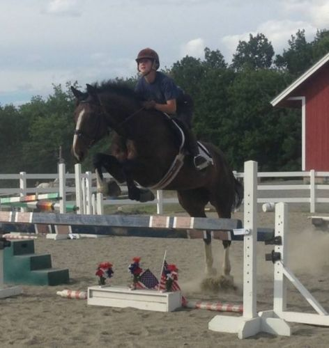 Bay Warmblood Cross Mare, Gorgeous Talented Warmblood Jumper eventer foxhunter in New Hampshire. DreamHorse.com is the premier horse classifieds site with horses for sale, lease, adoption, and auction, breeding stallions, and more.