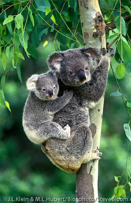 Koala carrying her 8 month old cub on her back in a Eucalyptus tree.